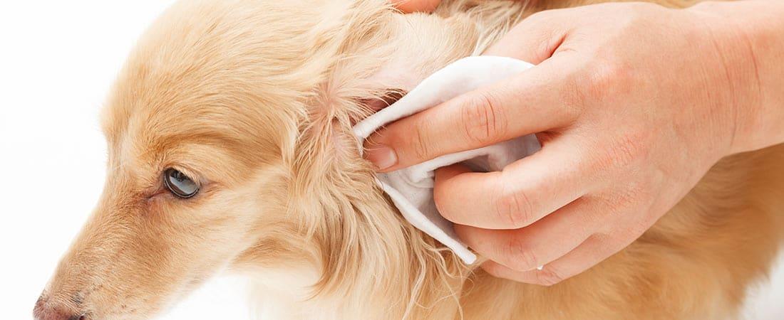 Batavia Dog Ear Cleaning