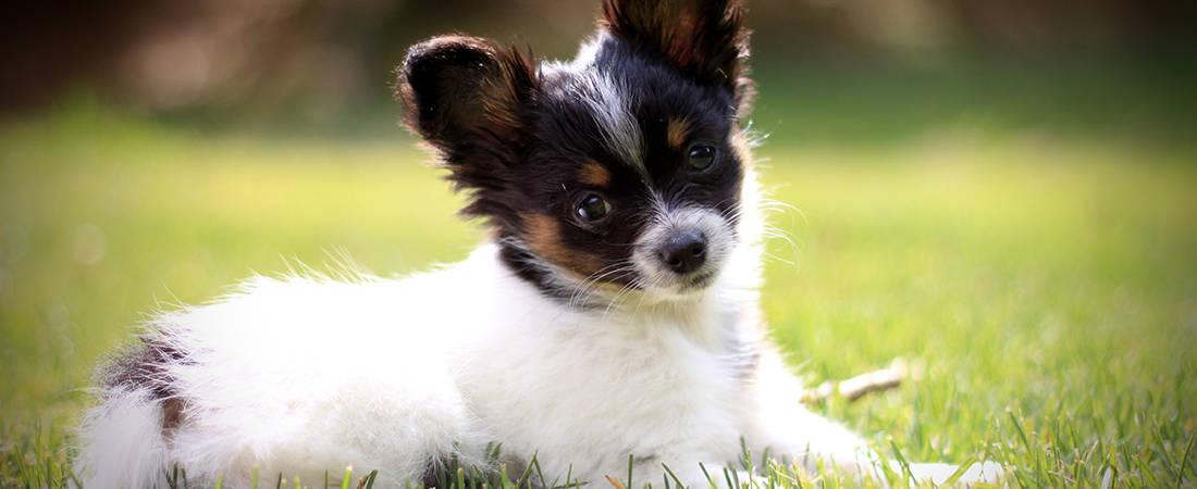 Chihuahua Grooming Batavia